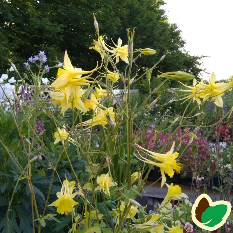 Aquilegia chrysantha Yellow Queen / Akeleje