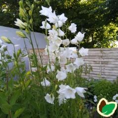 Campanula persicifolia Alba / Klokkeblomst