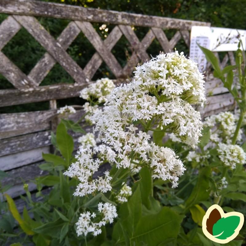 Centranthus ruber Albus / Sporebaldrian