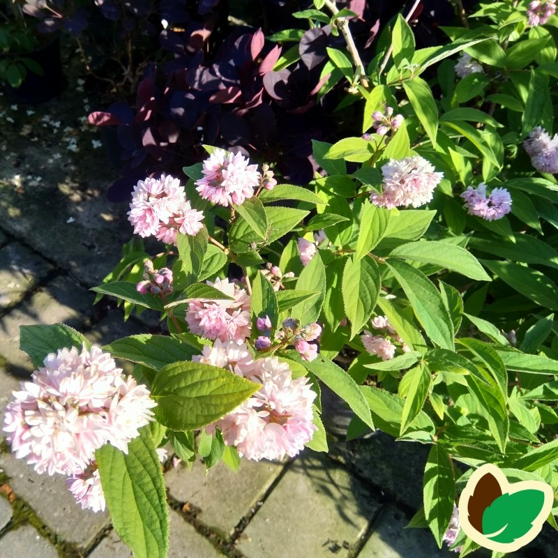 Deutzia hybrid Pink Pompon  / Stjernetop