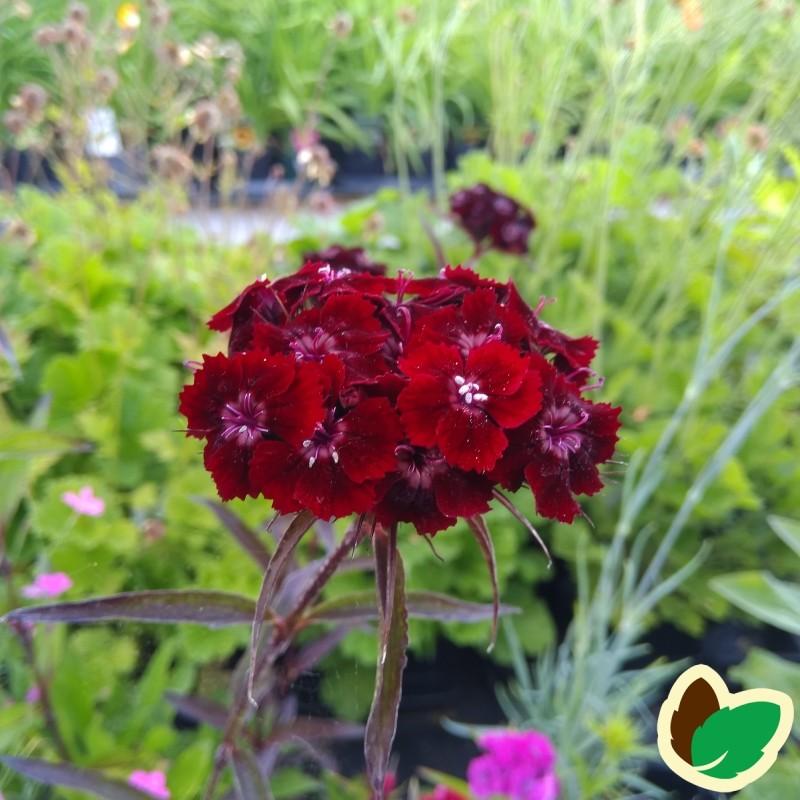 Dianthus barbatus nigrescens Sooty / Studenternellike