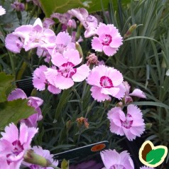 Dianthus plumarius Rachel / Fjernellike