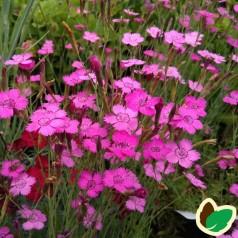 Dianthus deltoides Erectus / Bakkenellike