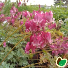 Dicentra hybrid King of Heart - Småhjerte