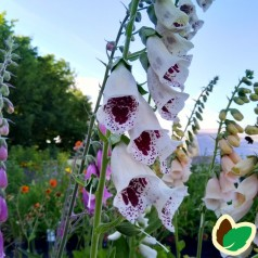 Digitalis purpurea Pam's Choice / Fingerbølblomst