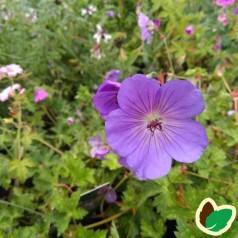 Geranium hybrid Sweet Heidy / Storkenæb
