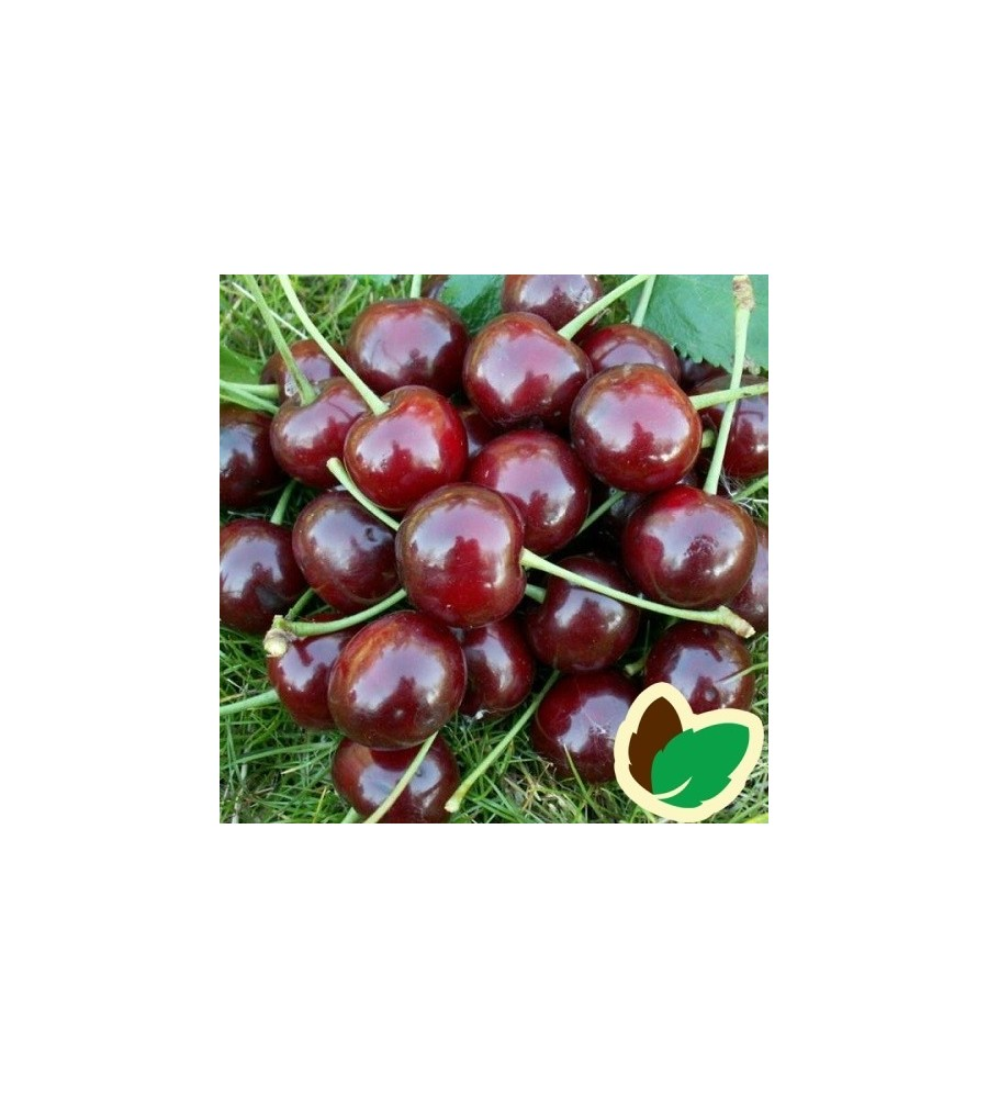 Kirsebærtræ Nefris