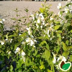 Uægte Jasmin Mont Blanc 50-80 cm. - 10 stk. barrodsplanter - Philadelphus polyanthus Mont Blanc ¤
