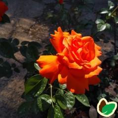 Rose Alexander - Storblomstret Rose / Barrods