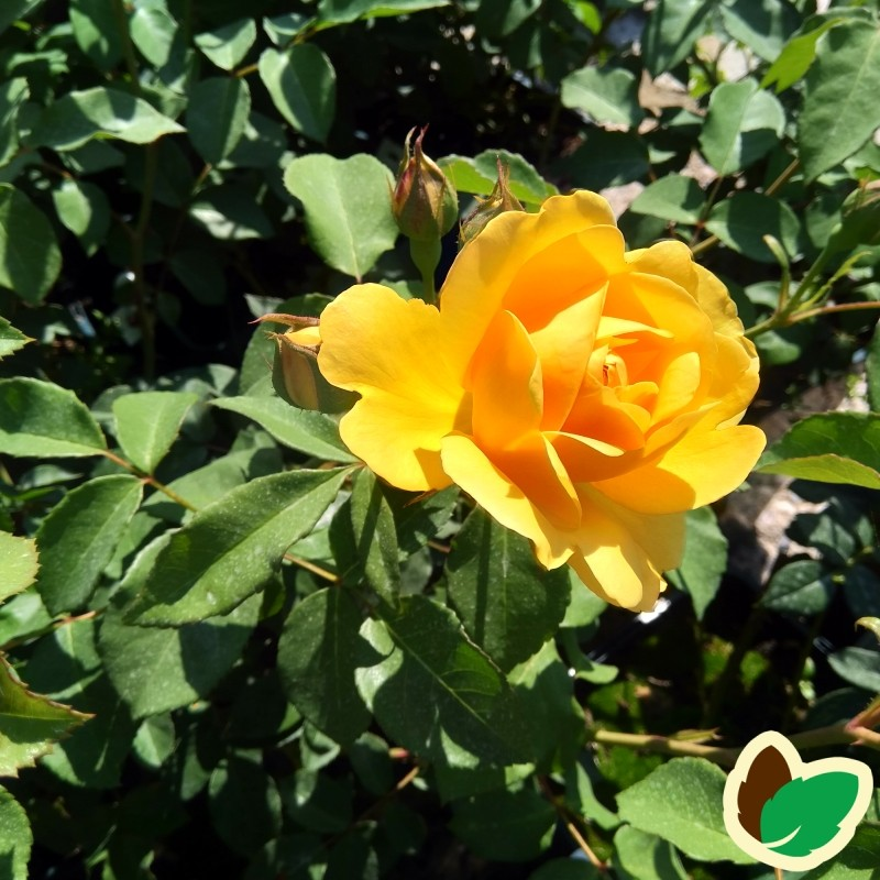 Rose Graham Thomas / Engelsk Rose