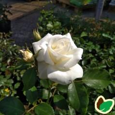 Rose Gråsten / Buketrose