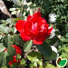 Rose Heidelberg - Slyngrose / Barrods