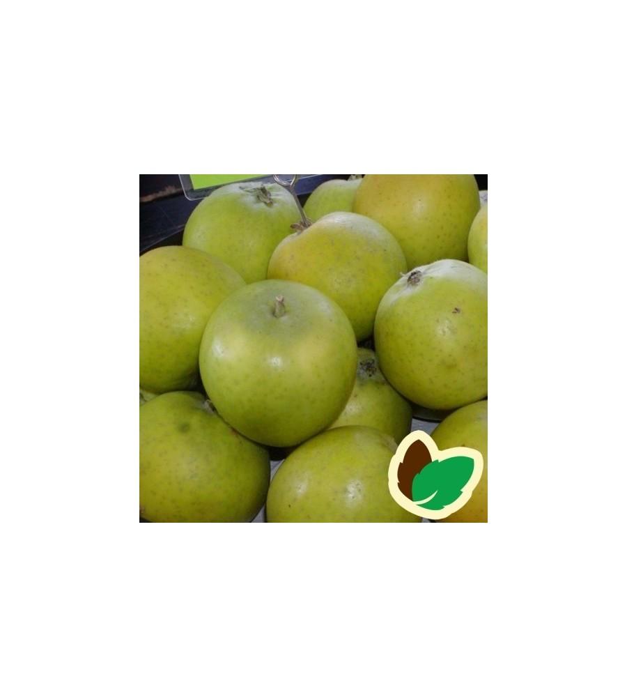 Æbletræ Ananas Renette