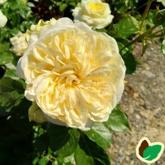 Rose Kronprinsesse Mary - Slotsrose