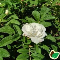 Rose Louise Bugnet / Busk Rose