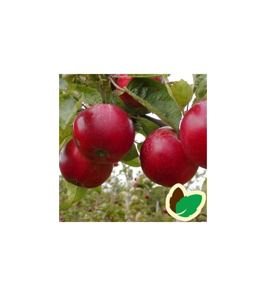 Æbletræ Josephine Kallehave