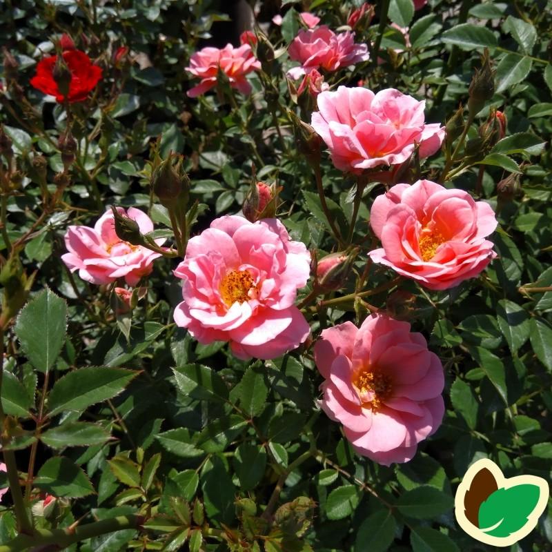 Rose Sweet Cover / Bunddække rose Towne- og Country