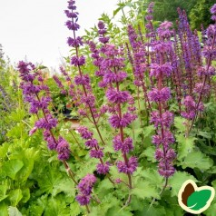 Salvia verticillata Purple Rain / Salvie
