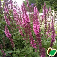Salvia nemorosa Sensation Deep Rose - Salvie
