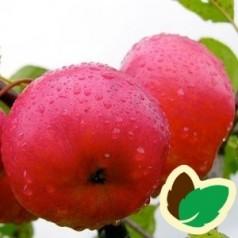 Æbletræ Rubinola