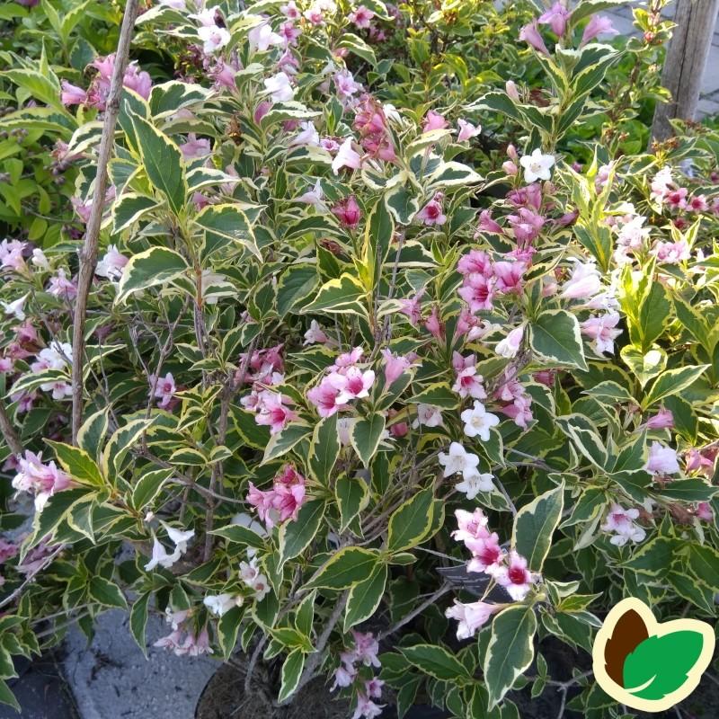 Weigela florida Variegata - Klokkebusk