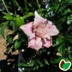 Hibiscus syriacus Leopoldii - Syrisk Rose