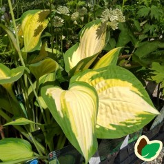 Hosta hybrid Orange Marmalade / Funkia