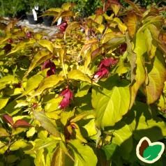 Leycesteria formosa Golden Lanterns - Fasanbusk