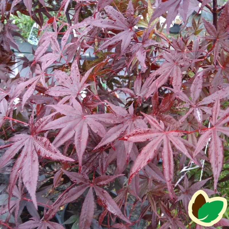 Acer palmatum Bloodgood - Japansk Løn - Japansk Ahorn