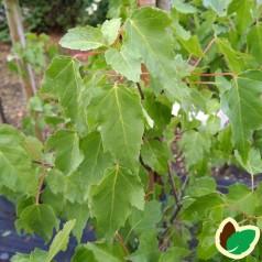 Acer ginnala - Ildløn / Træ 175-200 cm.