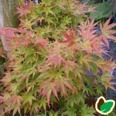Acer palmatum Sango Kaku - Japansk Løn - Japansk Ahorn