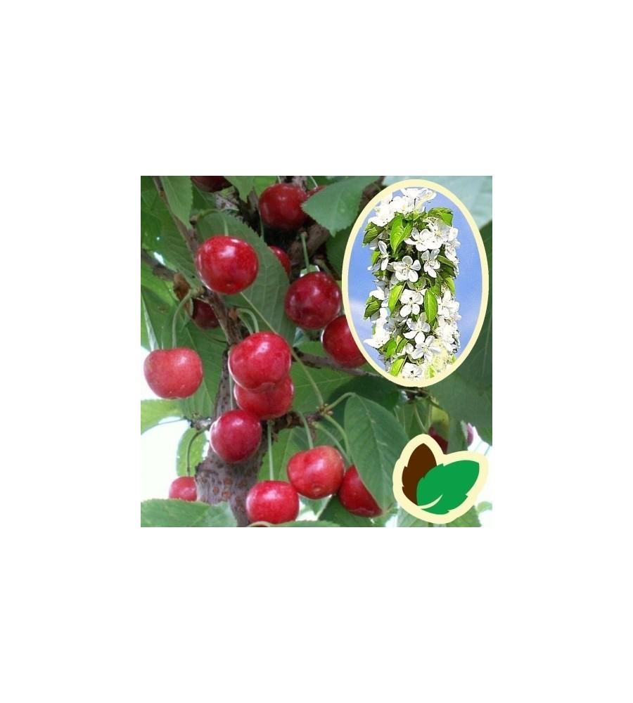 Søjlekirsebær Sylvia