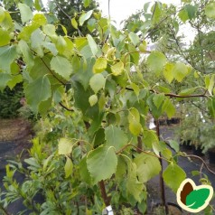 Betula pendula Spider Alley - Troldbirk 80 cm. stamme.