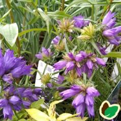 Edraianthus tenuifolius / Bægerklokke