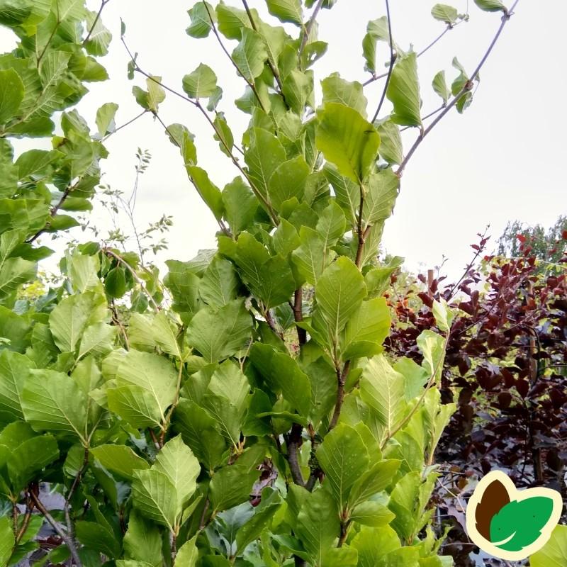Fagus sylvatica Dawyck - Grøn søjlebøg / 125-150 cm.