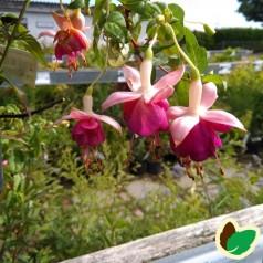 Fuchsia magellanica Annas Choiz - Havefuchsia