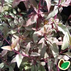 Fuchsia magellanica Variegata / Havefuchsia