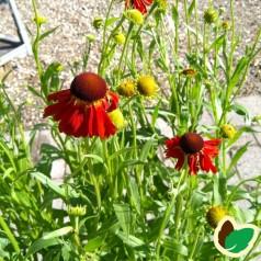 Helenium hybrid Moerheim Beauty / Solbrud