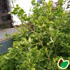 Poncirus trifoliata - Dværgcitron