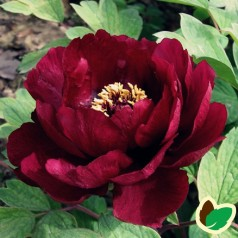 Paeonia Suffruticosa Black
