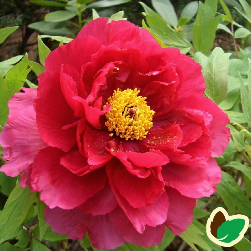 Paeonia Suffruticosa Red