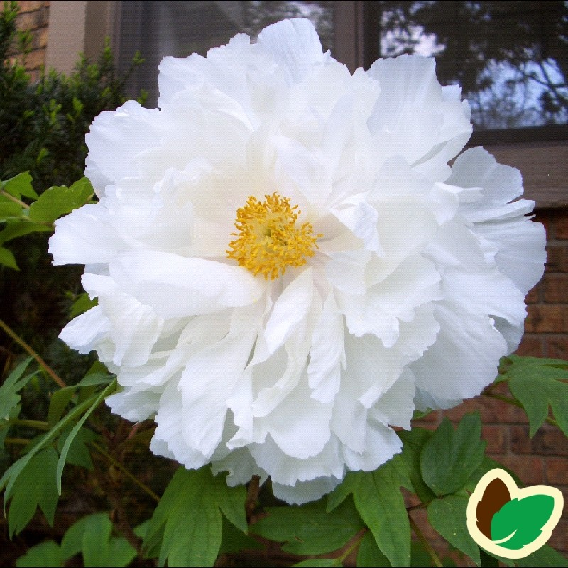 Paeonia Suffruticosa White