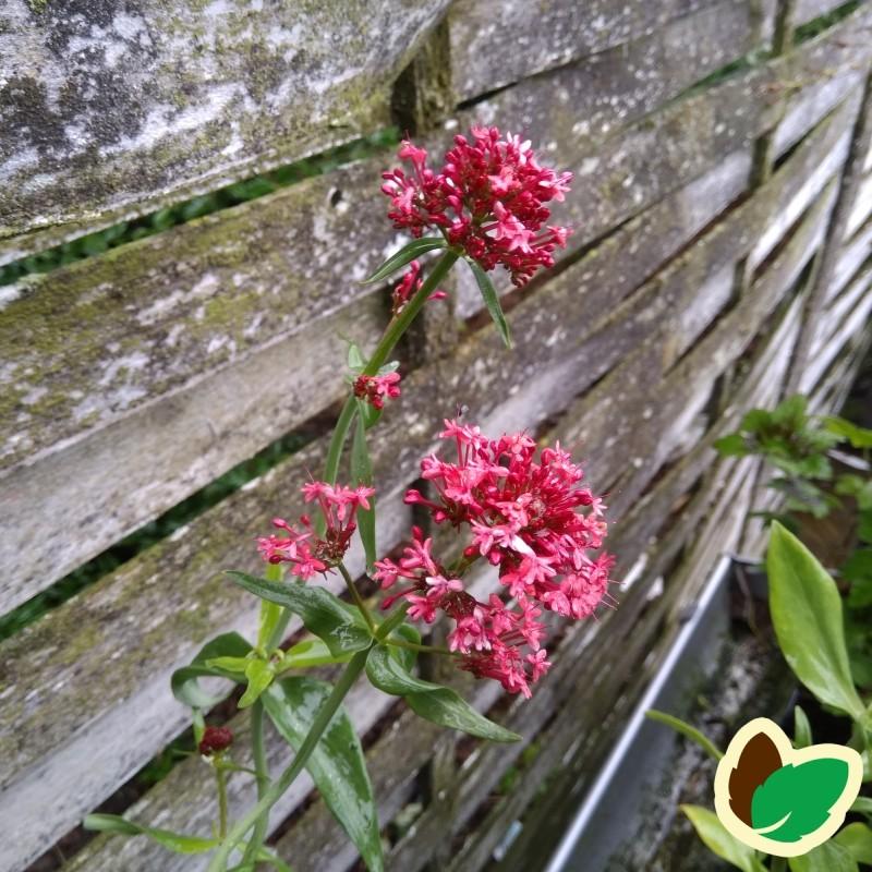 Centranthus ruber Coccineus / Sporebaldrian