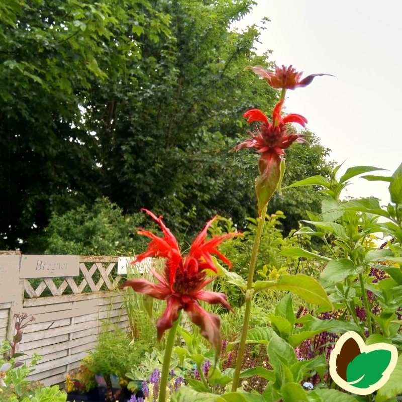Monarda hybrid Cambridge Scarlet / Hestemynte