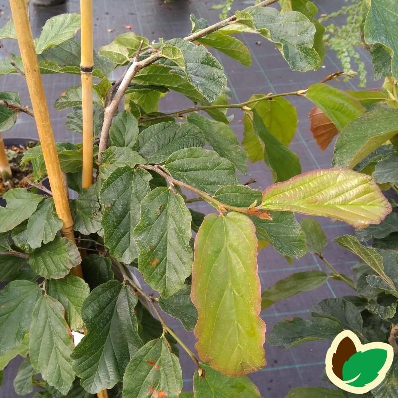 Parrotia persica - Papegøjebusk