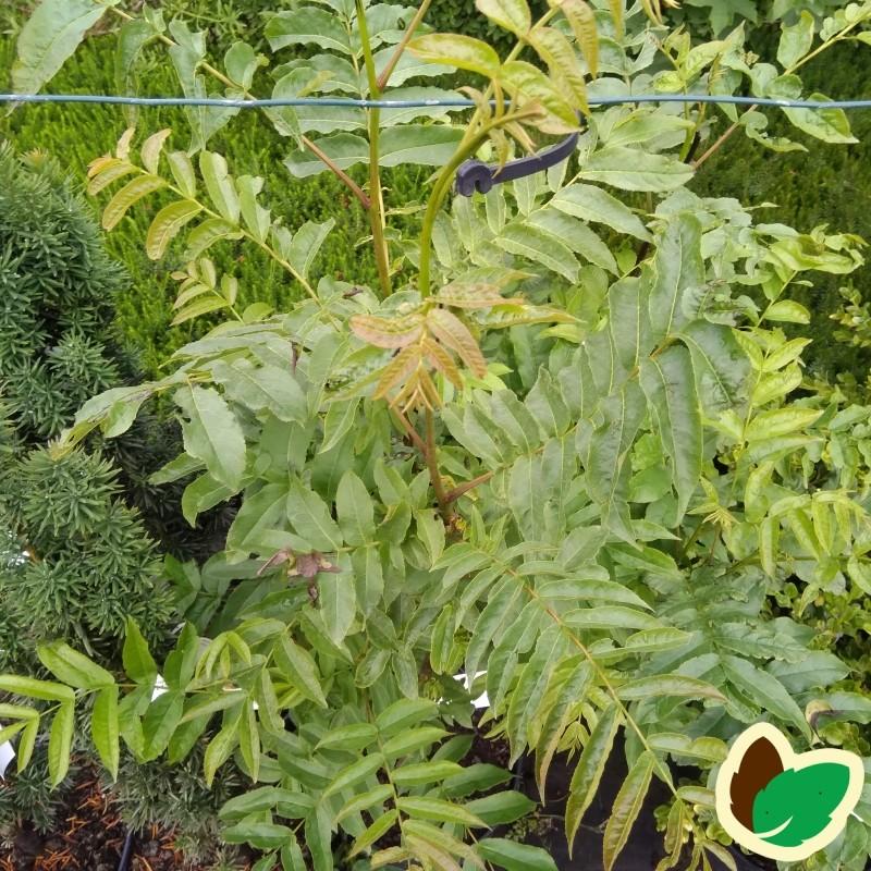 Pterocarya fraxinifolia - Vingevalnød