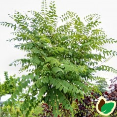 Robinia pseudoacacia Umbraculifera - Kugleakacie / 200 cm. stamme.