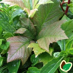 Rodgersia pinnata Chocolate Wings / Bronceblad