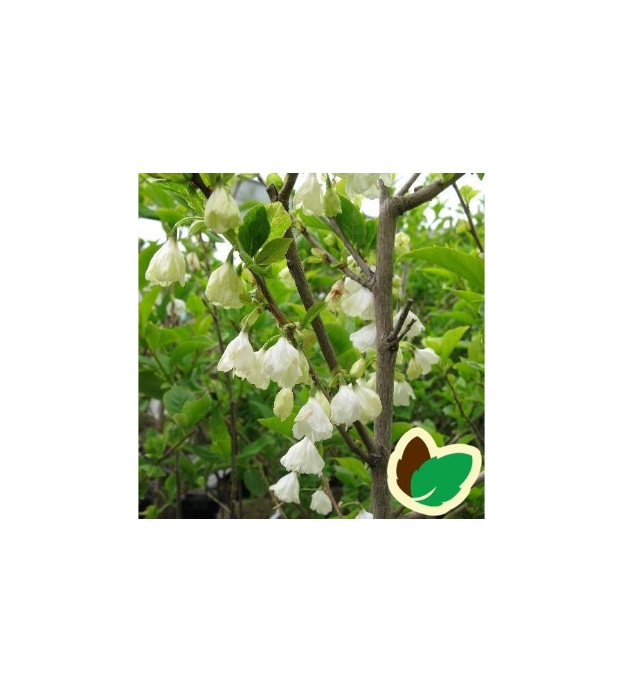 Halesia carolina - Sneklokketræ