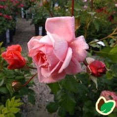 Rose Coral Dawn - Slyngrose / Barrods